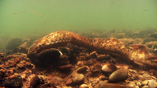 Brown lamprey eel underwater